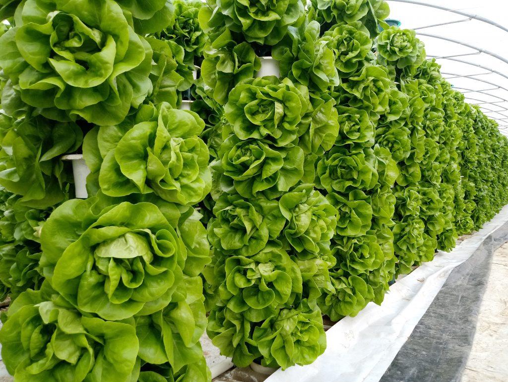 Saturn Bioponics system lettuce
